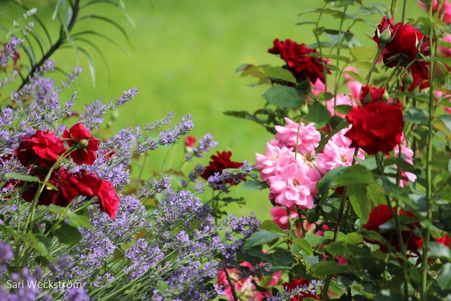 Sari Weckström, Laventelin kukat ja ruusut