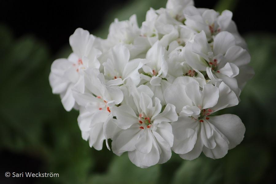 Pelargonin siementaimet ja pistokastaimet, Pelargoni `Tornedalen` kukka
