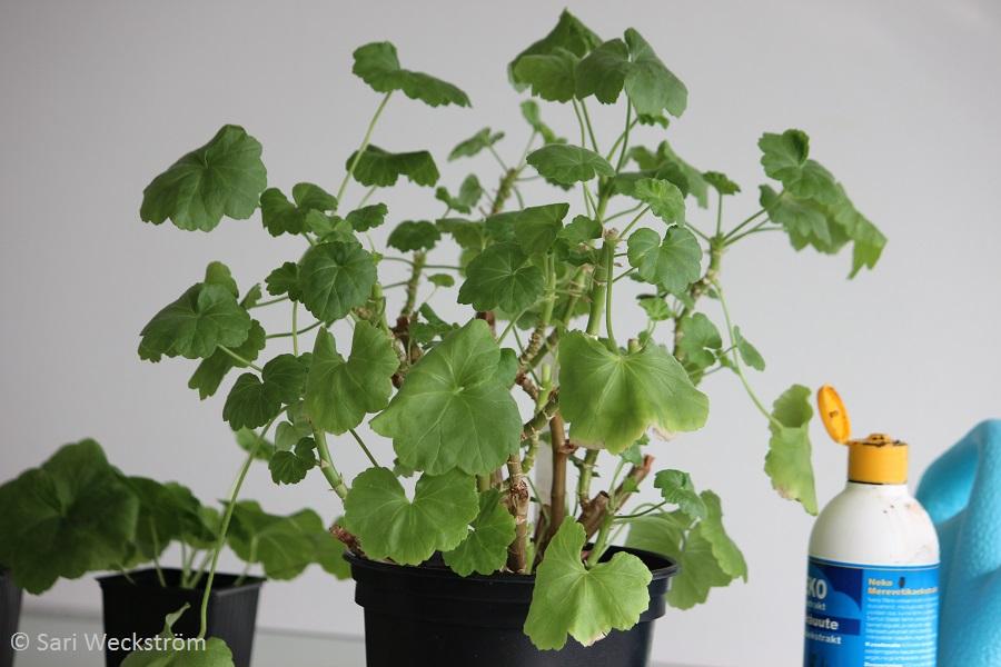Pelargonin siementaimet ja pistokastaimet, vanha pelargoni `Tornedalen` maaliskuussa