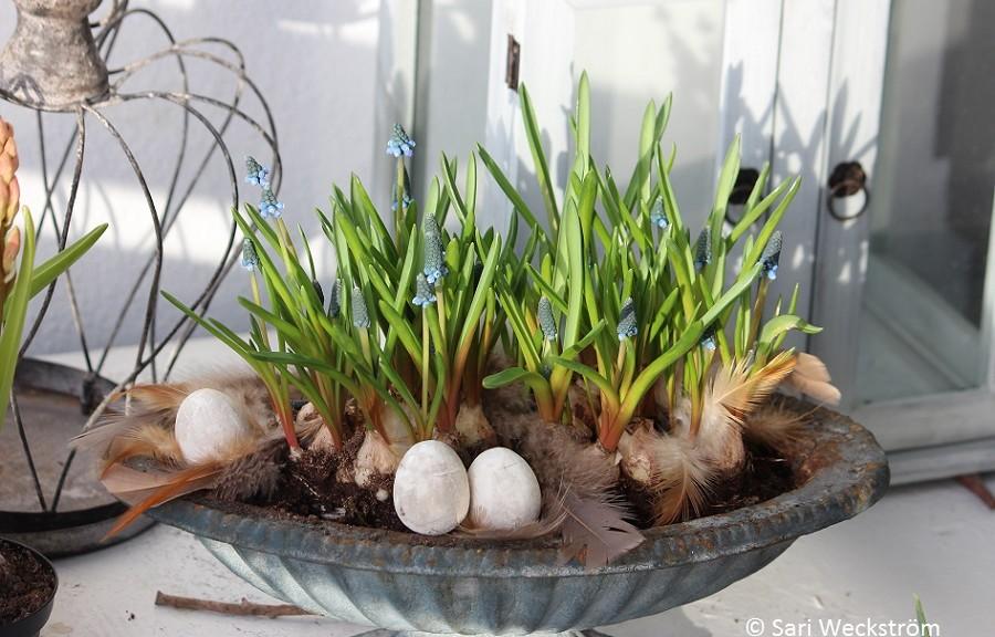 helmililjaistutus pääsiäisenä