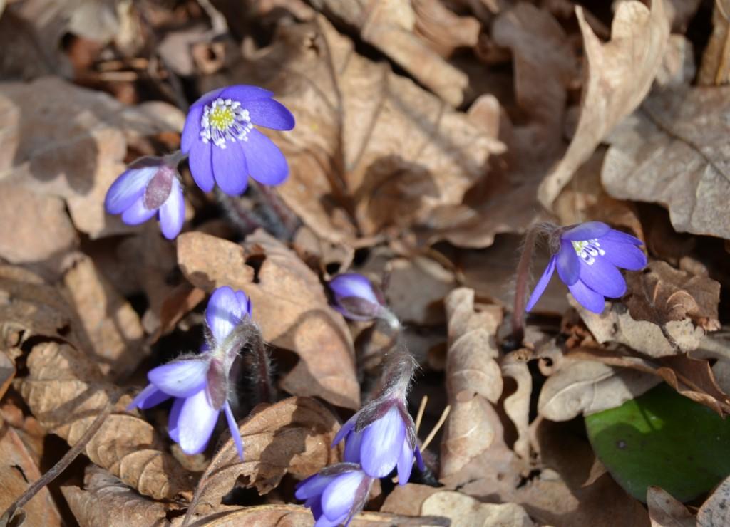 Sinivuokot tuovat kevään