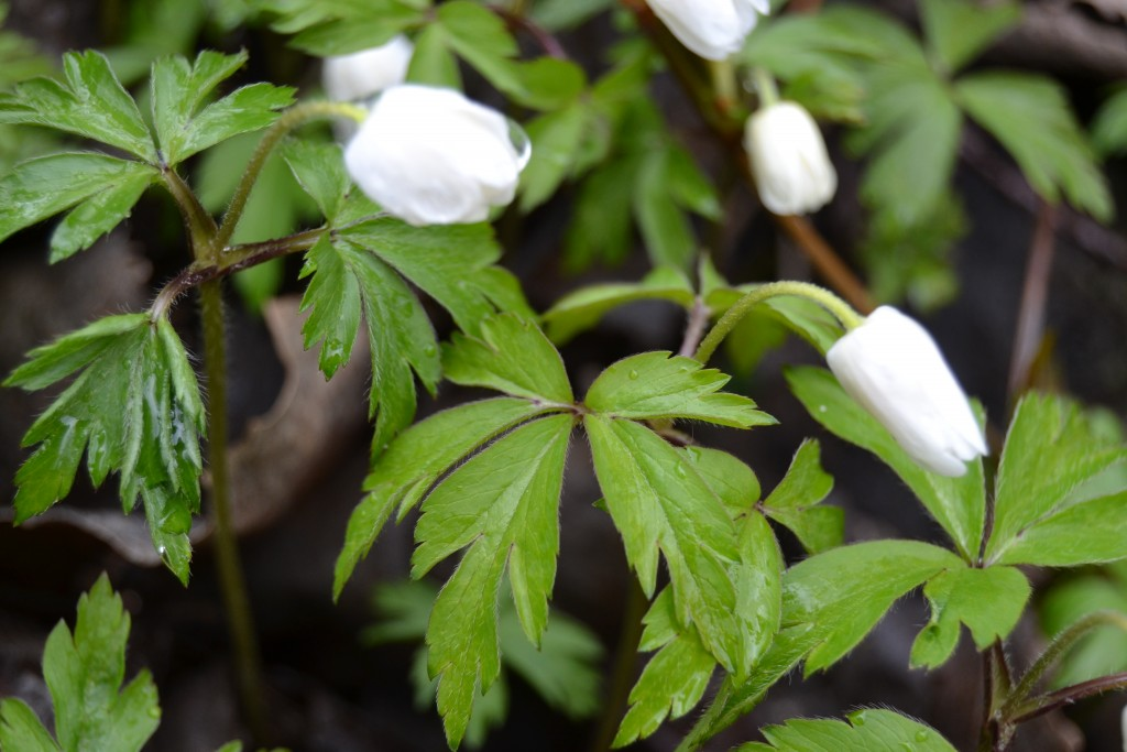 Valkovuokot kukkivat
