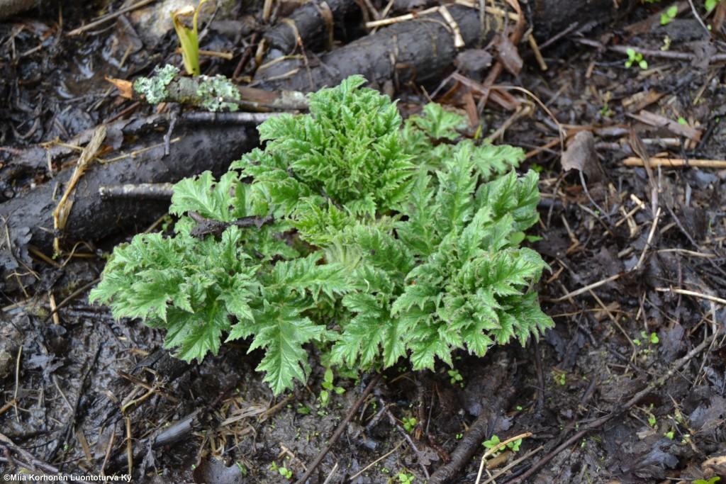 vanhempi jättiputki kasvusto lähtee keväällä aikaisin kasvuun