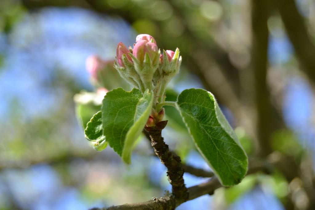 Omenapuu puhkeaa kukkaan
