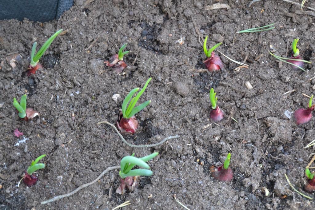 sipulit lähtenyt kasvuun