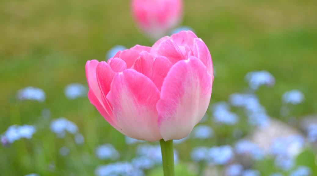 Tulppaanin hempeyttä
