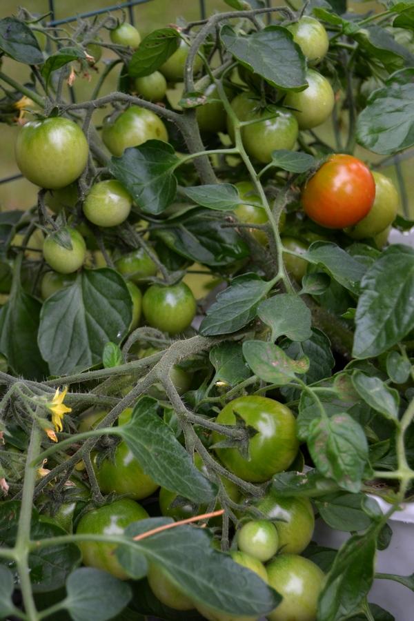 tomaatti antaa satoa