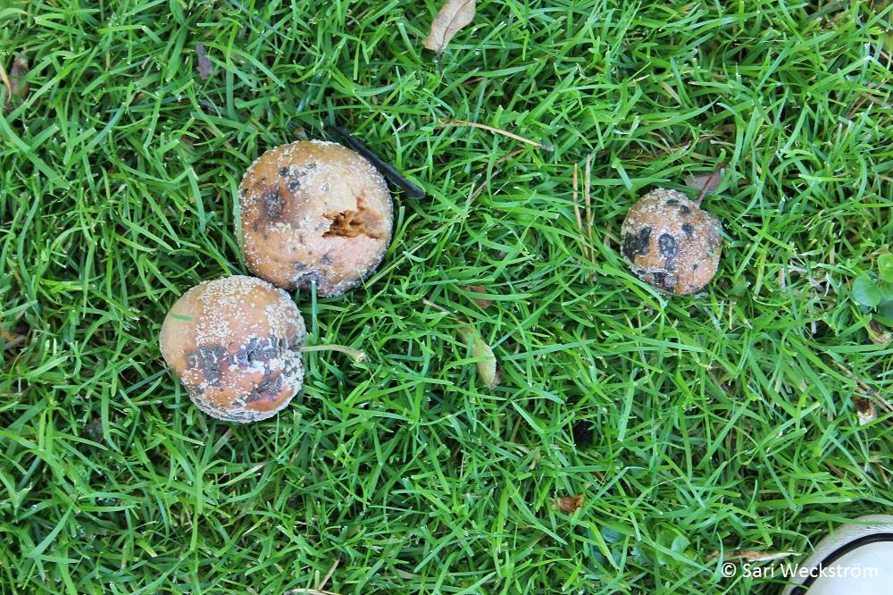 0 Neko, Merilevärouhe syyslannoitteena, muumiotautiset omenat pois