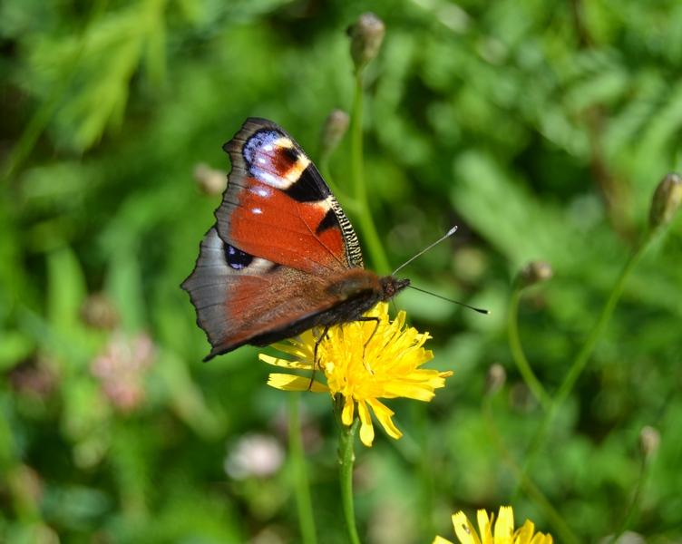 kesäpäivän elämää, perhonen 2016