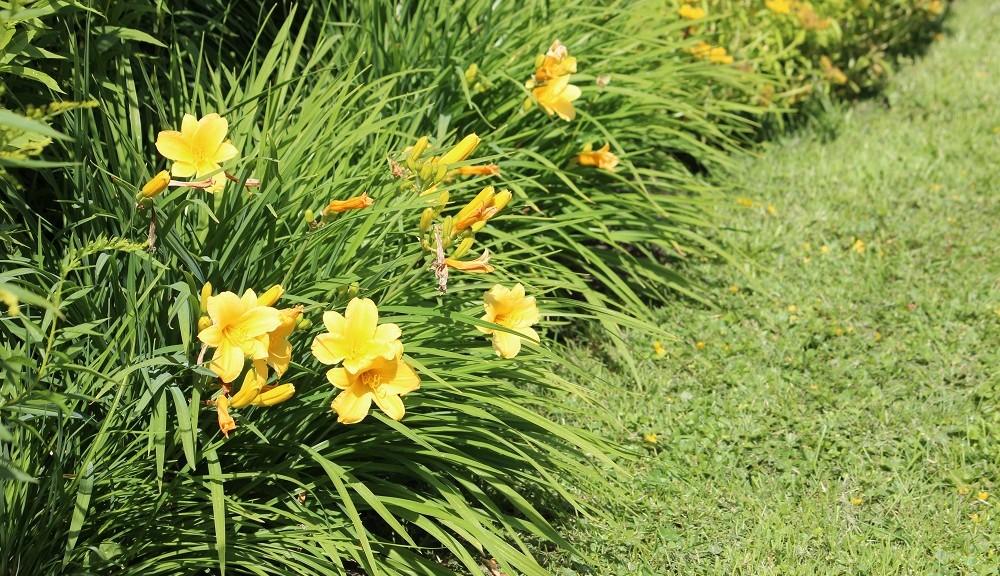 0-neko-perennojen-jakaminen-paivanlilja-kukkii