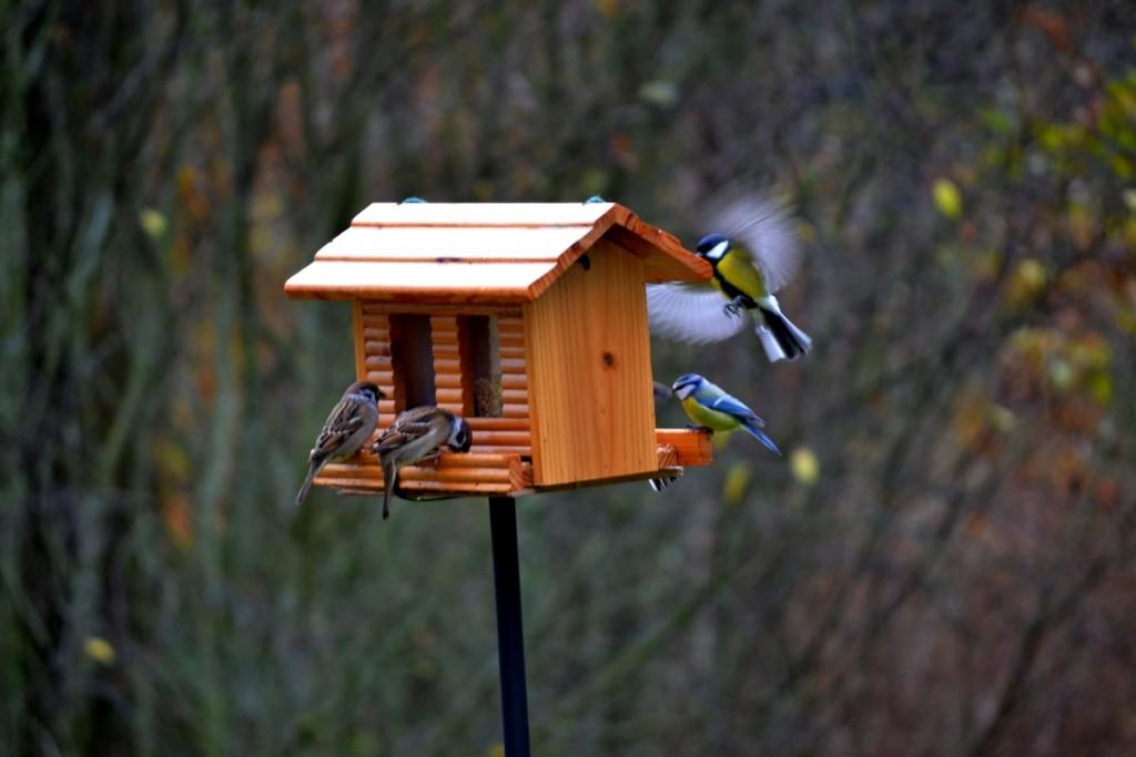 lintulaudalla-varpunen-sinitiainen-talitiainen