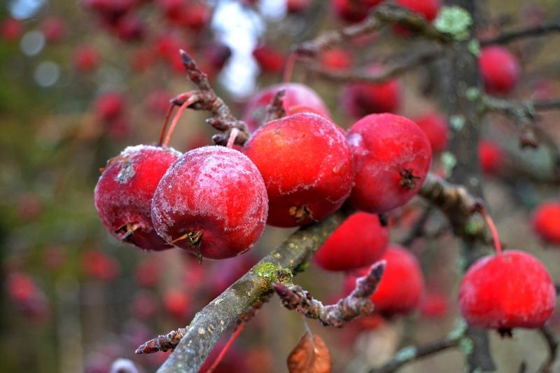 marjaomenapuu-syksylla