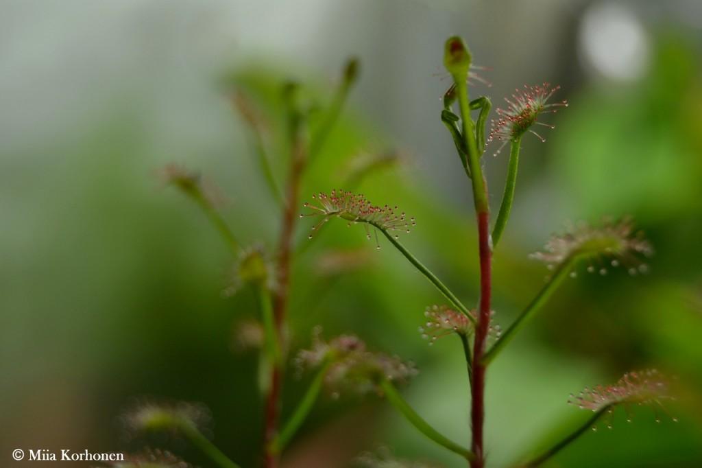 lihansyöjäkasvi, kihokki