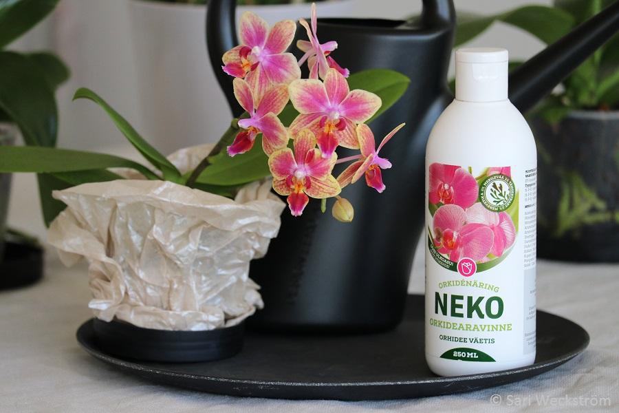 00 Perhosorkidea Philadendron Neko Orkidearavinnetta kaikille orkideoille ympäri vuoden