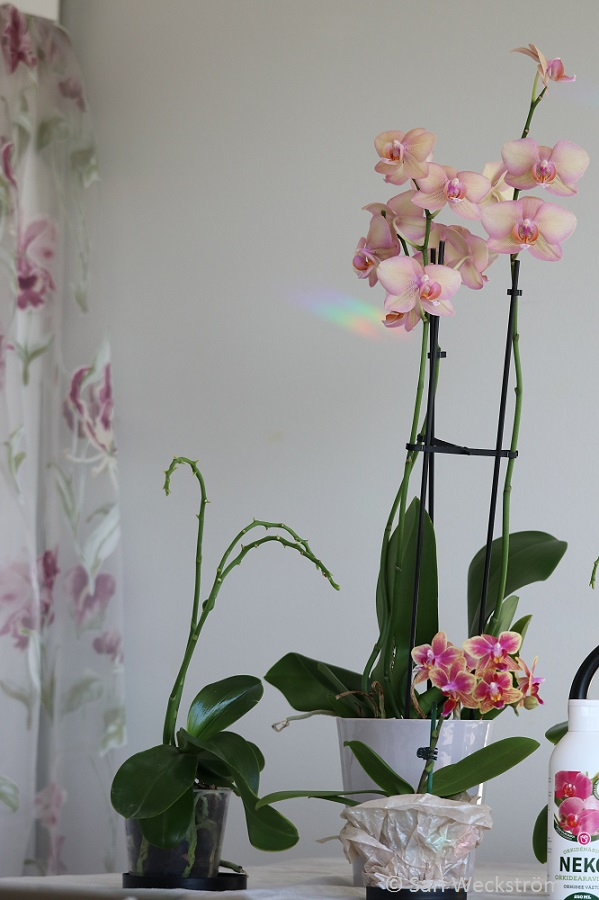 00 Perhosorkidea Philadendron isona ja pienikukallisena