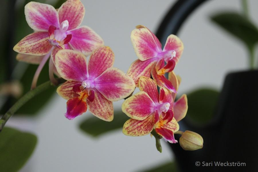 00 Perhosorkidea Philadendron pienikukallinen läheltä 2