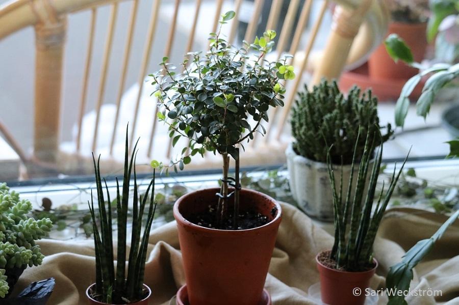 00 Kaktusten ja mehikasvien hoito ja lannoitus, anopinkieli ja puu