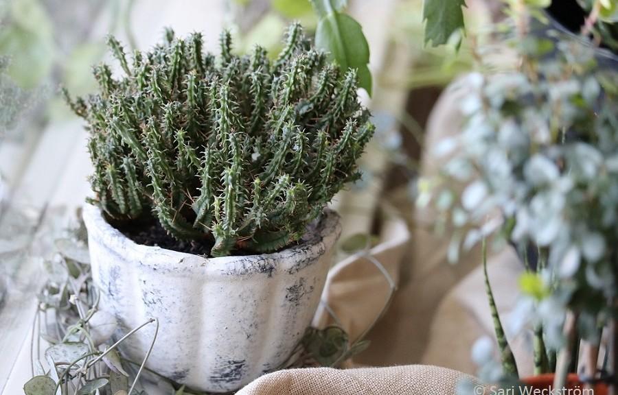 Kaktukset Kuvina