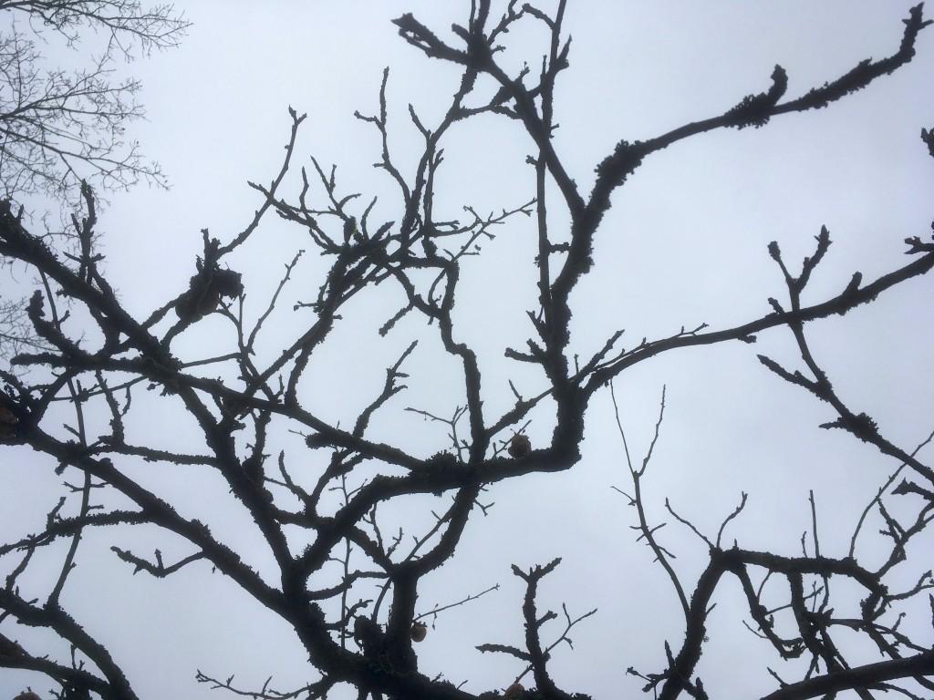 omenapuun vesiversot
