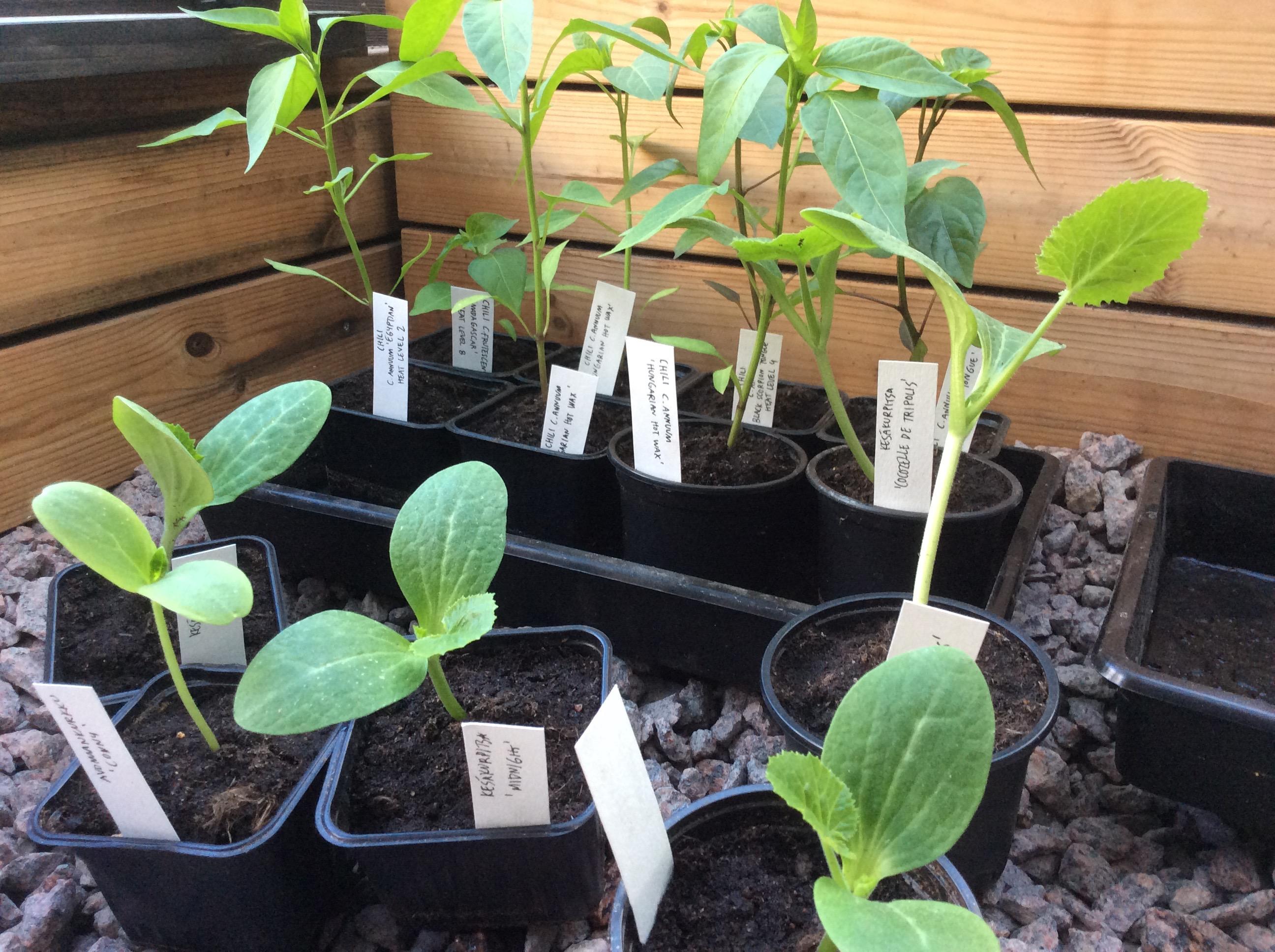 taimien esikasvatus