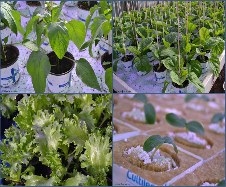 paprika, munakoiso, jääsalaatti, kasvihuonekurkku taimina
