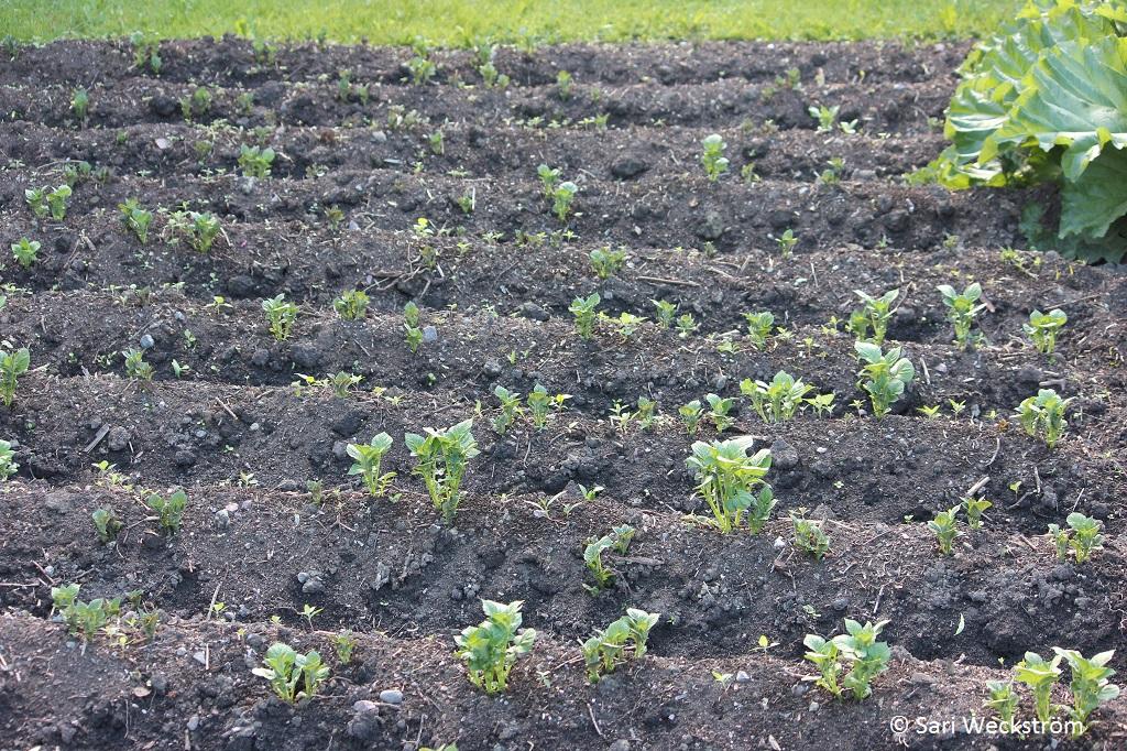 0 Neko Luonnonkali, hyvä lannoite juureksille, perunan alut