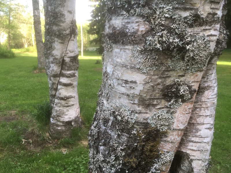 visakoivu Betula pendula var. carelica