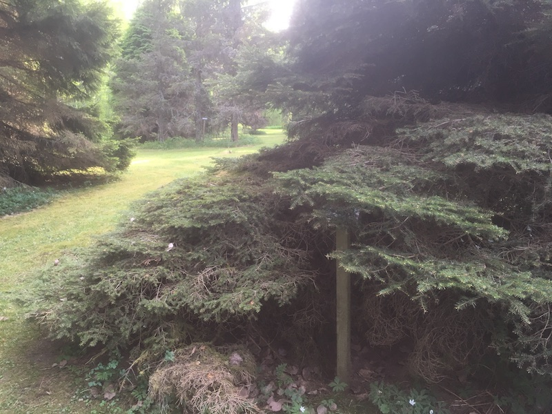 pöytäkuusi Picea abies f. tabulaeformis