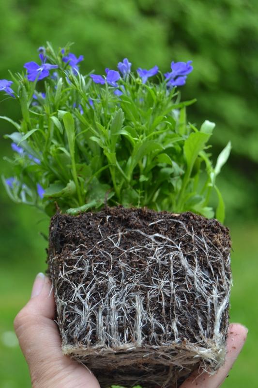 Lobelialla hyvä juuristo, hyvä kasvu