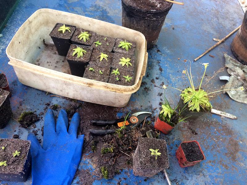 Pinguicula primulifloran jakamista. Huomatkaa Suomesta tuodut,hyvät Fiskarsin sekatöörit