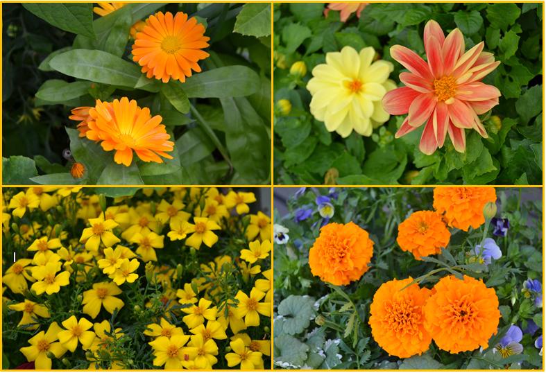 keltaiset ja oranssit kesäkukat