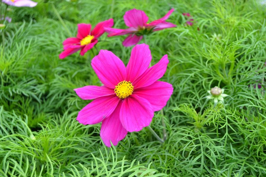 kosmoskukka on värikäs kesän kukkija