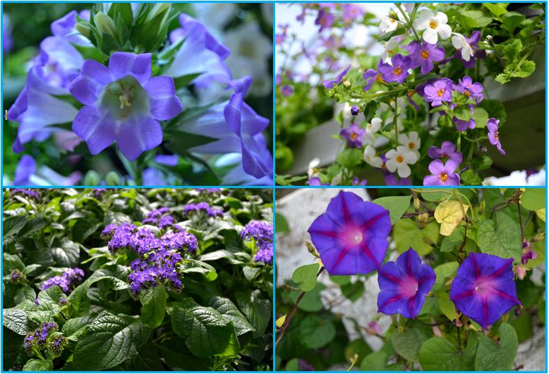 sinisen sävyjä kesäkukissa