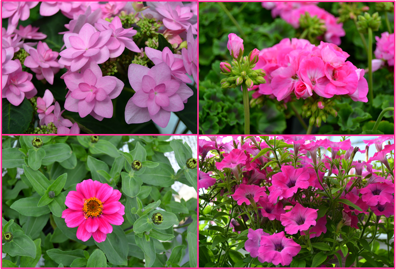 vaaleanpunaisen sävyjä kesäkukissa