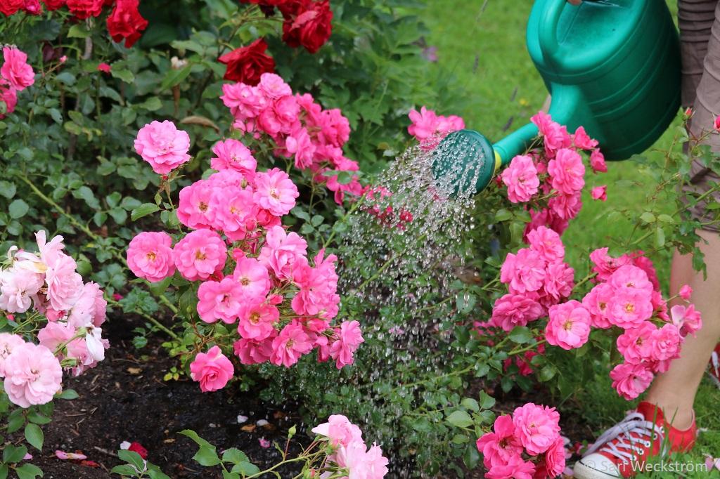 0 Neko Syyslannoite, nestemäinen kastelukannuun elokuun puolessa välissä, talvenaroille ruusuille