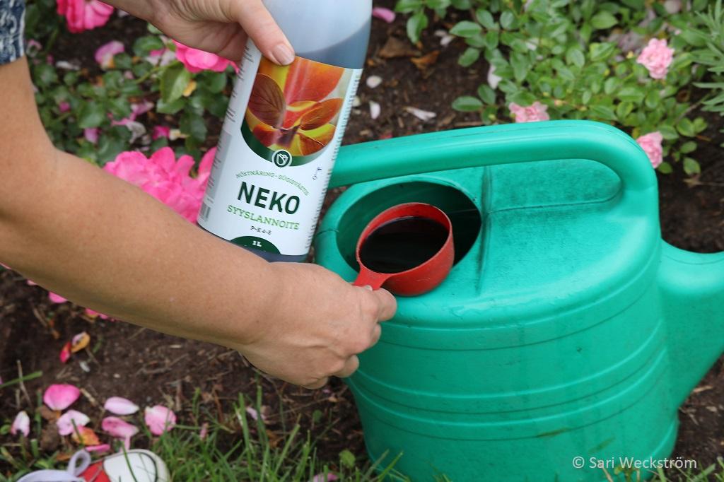 0 Neko Syyslannoite, nestemäinen kastelukannuun elokuun puolessa välissä
