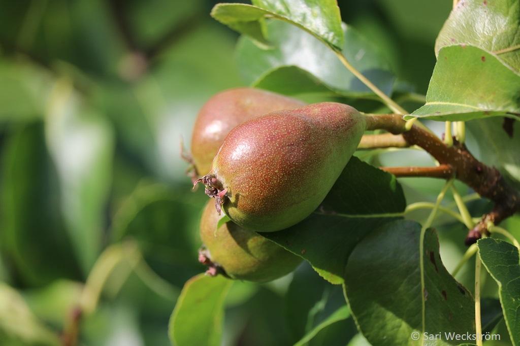 0 Neko Syyslannoite, nestemäinen pullossa, päärynälle, luumulle, kirsikalle ja omenapuille