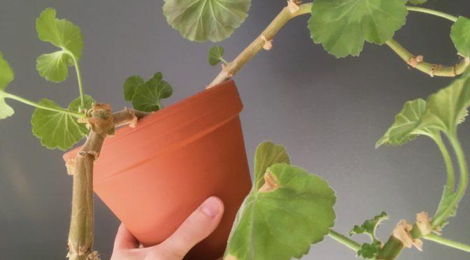 Pelargonien keväthuolto